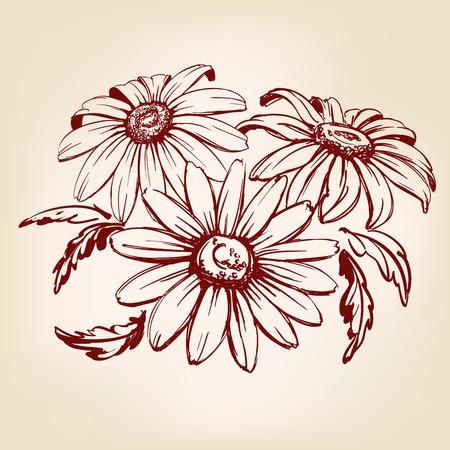 daisy: daisy hand drawn vector llustration realistic sketch