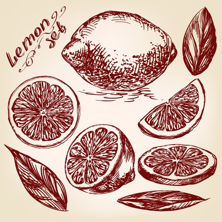 Collections of Lemons hand drawn vector llustration realistic sketch