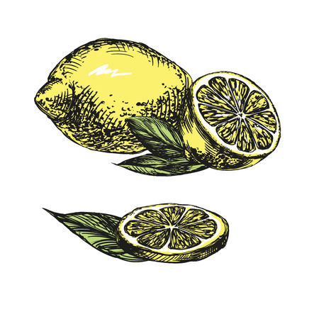 citric acid: Collections of Lemons hand drawn vector llustration realistic sketch