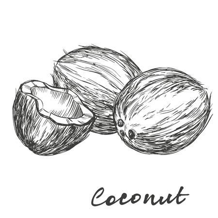 noix de coco: Jeu de noix de coco illustration dessinée à la main croquis réaliste Illustration