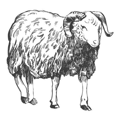Sheep hand drawn vector illustration realistic sketch