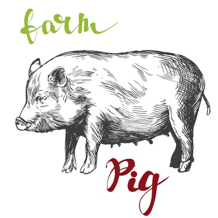 porcine: farm, pig hand drawn vector illustration realistic sketch Illustration