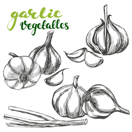 마늘 야채 세트 손으로 그린 벡터 일러스트 현실적인 스케치