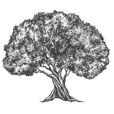 Olive tree hand drawn vector illustration realistic sketch