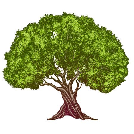 Olive tree hand drawn vector illustration realistic sketch color. 일러스트