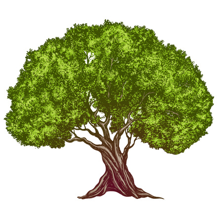 Olive tree hand drawn vector illustration realistic sketch color. Иллюстрация