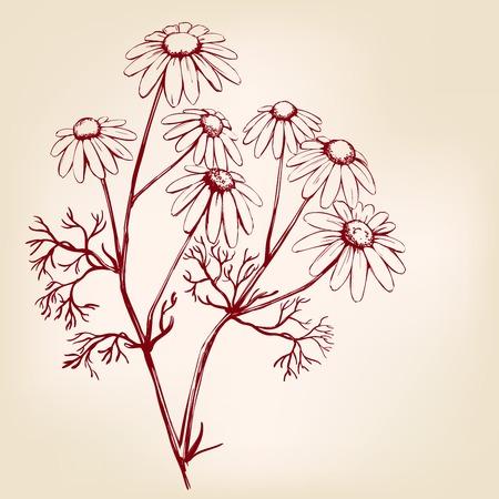 chamomile, herb medicinal, daisy hand drawn vector illustration realistic sketch