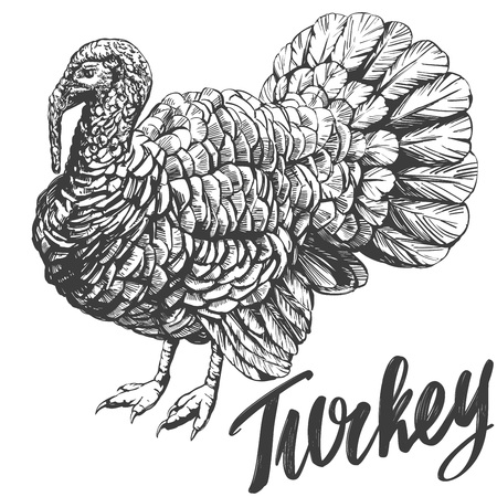 turkey domestic fowl hand drawn vector illustration realistic sketch.