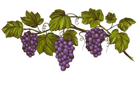 vite, uva, schizzo realistico dell'illustrazione disegnata a mano di vettore di colore Vettoriali