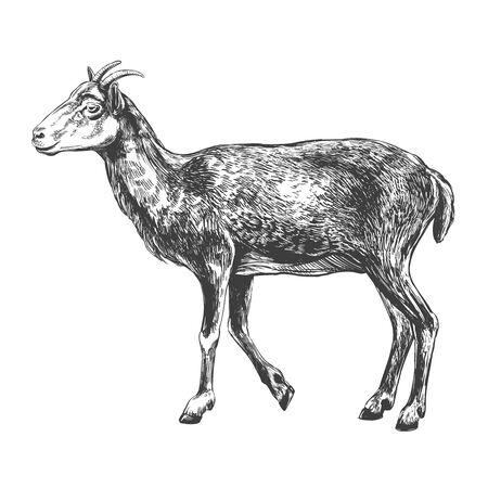 goat hand drawn vector illustration realistic sketch
