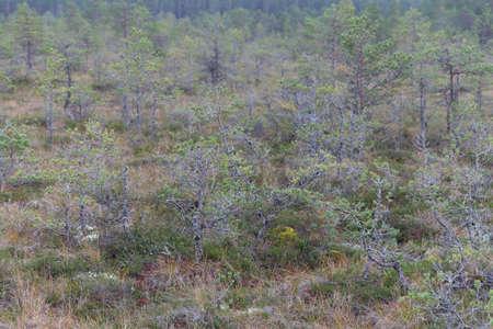 Dwarf pine trees inViru Raba, Lehemaa National Park, Estonia Zdjęcie Seryjne