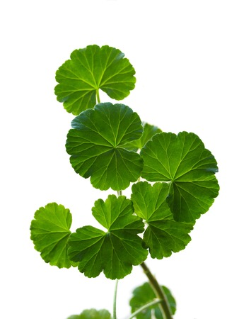 Branch of a geranium on a white background photo
