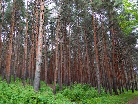excursions: cedar grove in the Caucasus mountains