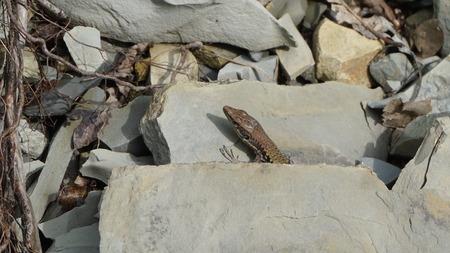 돌에 앉아 작은 도마뱀 스톡 콘텐츠
