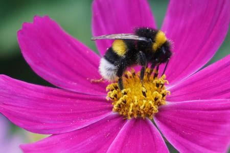 Bumblebee pollinates a pink flower in macro Banco de Imagens