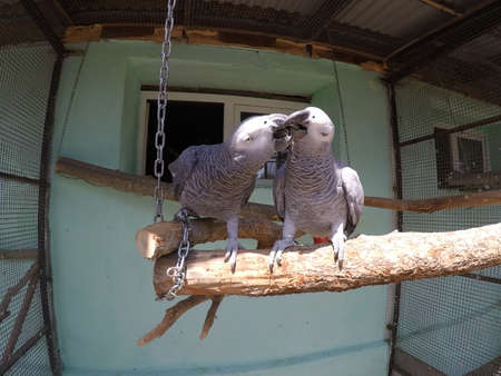 Pair of African gray parrots kiss in aviary of zoo