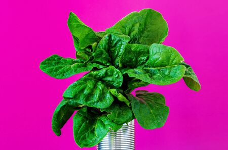 Bunch of fresh spinach leaves in a jar isolated on pink paper background. Close-up of useful tasty vegetables from the vegetable garden