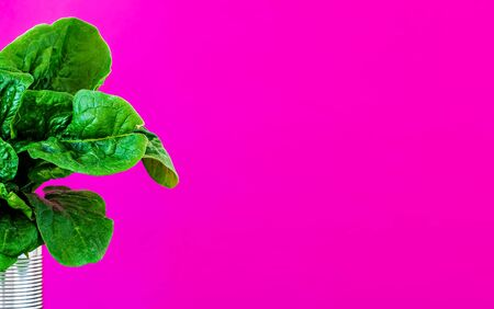 Bouquet of fresh spinach leaves in a jar in the left corner of the photo isolated on pink paper background. Close-up with copy space for text. Useful tasty vegetables from the garden Banque d'images