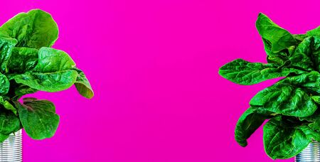 Two bunches of fresh spinach leaves in the corners of a photograph isolated on pink paper background. Close-up with copy space for text between spinach leaves. Useful tasty vegetables from the garden