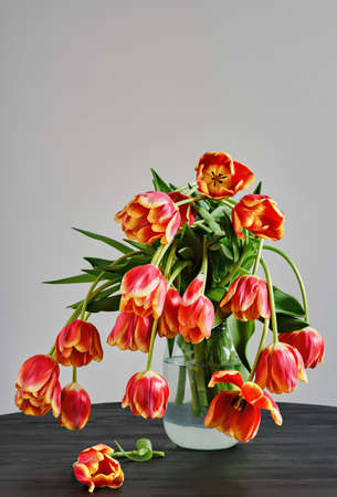 Glass jar with a bouquet of fading beautiful red-yellow tulips against the background of a white wall, on a black wooden table. Stock fotó
