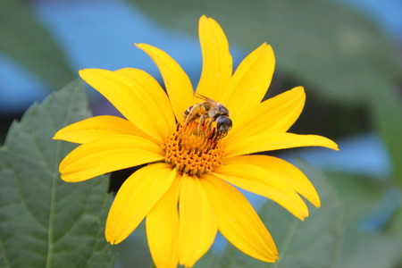 nectar: A bee collects nectar on bright yellow flower