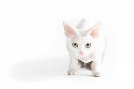 cornish rex: White Cornish Rex cat looking at photographer Stock Photo