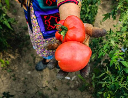 Close up photo of an old woman`s hand holding two ripe tomatoes. Dirty hard worked and wrinkled hand. Banco de Imagens