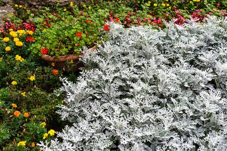 Colorful flowers and silver plant (Dusty Miller) .