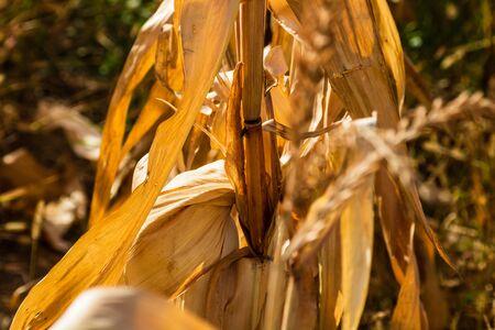 Dry corn field, dry corn stalks, end of season.