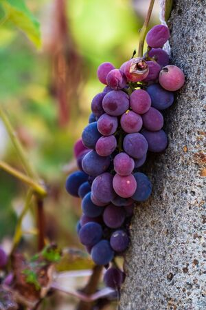 Vine grape fruit plants outdoors. Ripe grapes in the vineyard ready for harvest.