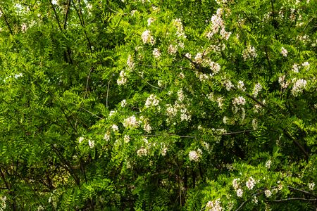 Blooming acacia tree (Robinia pseudoacacia) flowers. Acacia flowers branches with a green background