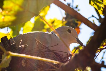 Sun lights over dove bird sitting on nest. Close up photo.