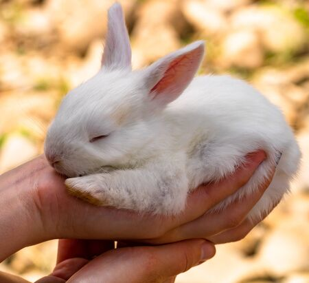Hand holding a small baby white rabbit isolated on blurred background, Sleepy baby bunny isolated.