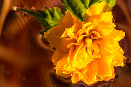 Macro shot of Kerria japonica Pleniflora flower isolated on water. Yellow Japanese rose close up .