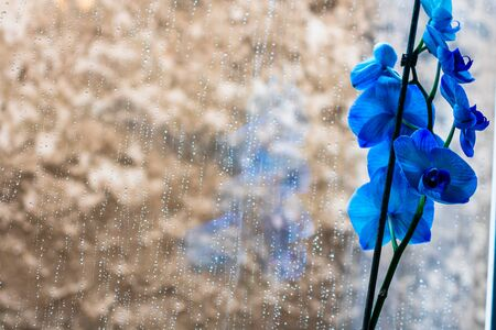 Beautiful and blue delicate orchid flowers Phalaenopsis isolated at home, indoor.