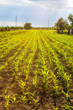 Close up of fresh and  little corn plants on a field, rural corn growing concept. Stock fotó
