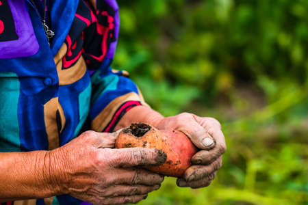Dirty hard worked and wrinkled hands holding fresh organic potatoes. Old woman holding harvested drought damaged potatoe in hands.