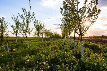 Beautiful sun lights over the orchard of lined trees with painted trunks in white.