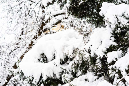 Fir-trees with snow on beautiful natural snowdrift