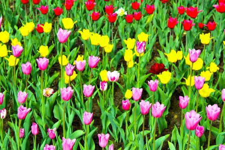 Many colourfull tulips in the garden photo