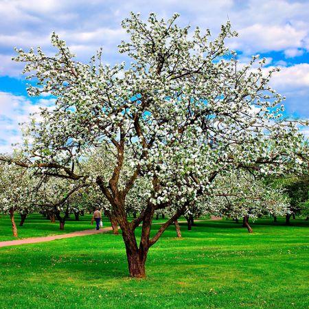 arbol de pascua: Blanca flor de manzanos en primavera