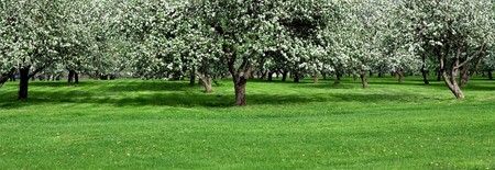 apple orchard: blooming apple trees garden in spring