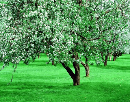 blooming apple trees garden in spring photo