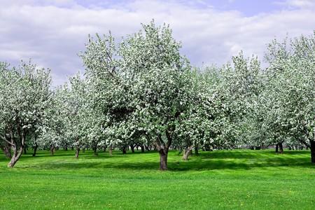 blooming apple trees garden in springtime photo