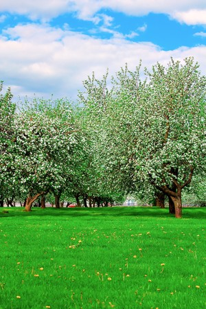 white blossom of apple trees in springtime Stock Photo - 7067110