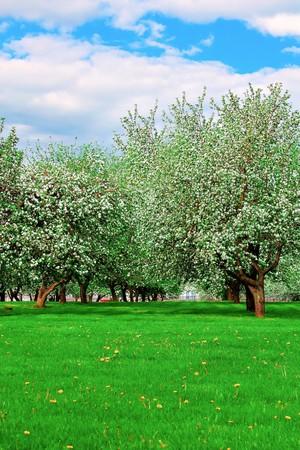 white blossom of apple trees in springtime Stock Photo - 7067110