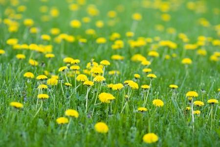 vivid spring yellow dandelions photo