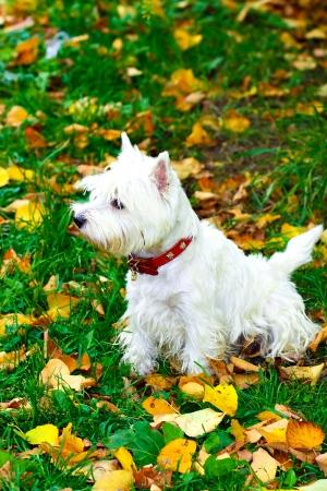 Beautiful westie portrait in autumn park photo