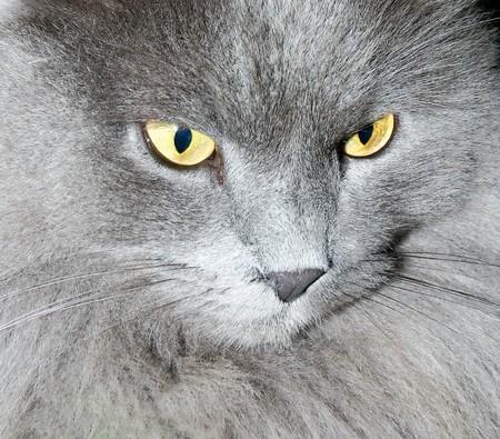 beautiful gray cat with yellow eyes photo