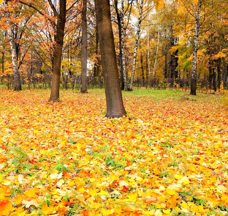 colorful maple trees: beautiful golden orchard